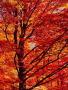 Red Maple Crandon Wisconsin wallpapers