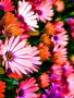 Vibrance Colorful Flowers wallpapers