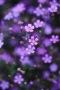 Purple Flowers On Garden IPhone Wallpaper wallpapers