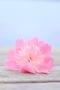 Pinky Cute Flower IPhone Wallpaper wallpapers