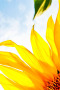 Cute Sunflower Corner IPhone Wallpaper wallpapers