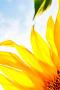 Cute Sunflower Corner IPhone Wallpaper wallpapers