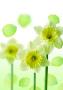 Green Flower wallpapers