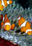Clown Fishes wallpapers