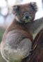 Koala Climb wallpapers