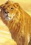 Lion Animal wallpapers