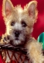 Christmas Puppy wallpapers