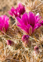 Pink Flowers Cactus wallpapers