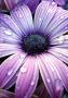 Purple Daisy wallpapers
