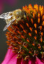 Bee On Flower wallpapers
