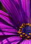Purple Daisy Flower wallpapers
