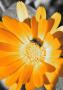 Golden Flower wallpapers