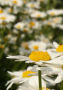 White Sunflower wallpapers