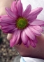 Pink Gerber Daisy  wallpapers