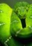 Green Snake  wallpapers