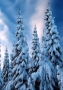 Winter Trees wallpapers