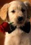 Puppy Rose wallpapers