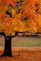 Autumn Tree wallpapers
