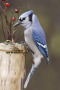 Blue Jay And Berries IPhone Wallpaper wallpapers