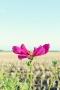 Cosmos Purple Flowers IPhone Wallpaper wallpapers