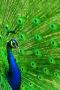 Peacock IPhone Wallpaper wallpapers