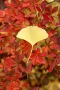 Ginkgo Leaves IPhone Wallpaper wallpapers