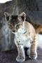 Baby Bobcat IPhone Wallpaper wallpapers