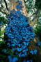 Blue Butterflies IPhone Wallpaper wallpapers