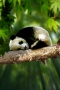 Sleepy Panda IPhone Wallpaper wallpapers