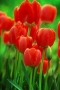 Red Tulips IPhone Wallpaper wallpapers