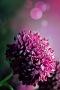 Purple Nature Flower IPhone Wallpaper wallpapers