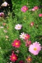 Cosmos Colors Flowers IPhone Wallpaper wallpapers