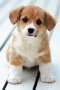 Cute Puppy Looking IPhone Wallpaper wallpapers