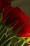 Love Rose IPhone Wallpaper wallpapers