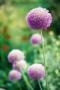 Flowers Purple Field IPhone Wallpaper wallpapers