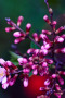 Pink Buds Flowers Android Wallpaper wallpapers