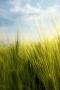 Wheat Grass Field IPhone Wallpaper wallpapers