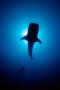 Whale Shark IPhone Wallpaper wallpapers