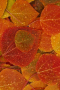 Wet Orange Leaves IPhone Wallpaper wallpapers