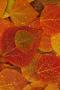 Wet Orange Leaves IPhone Wallpaper wallpapers
