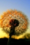 Beautiful Dandelion IPhone Wallpaper wallpapers