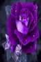 Purple Rose Nature IPhone Wallpaper wallpapers