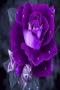 Purple Rose Nature IPhone Wallpaper wallpapers