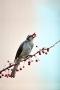 Bird Eat Berry IPhone Wallpaper wallpapers
