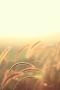 Grain Golden Field IPhone Wallpaper wallpapers