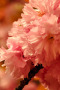 Pink Cherry Blossoms IPhone Wallpaper wallpapers