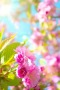 Cherry Blossoms Pink Filed Trees Garden IPhone Wallpaper wallpapers