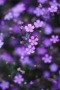 Purple Flowers Lovely Beauty IPhone Wallpaper wallpapers