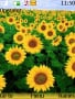Sunflower Nokia Theme themes