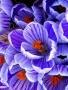 Blue Petals wallpapers